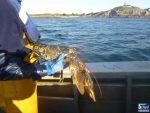 Le homard du Cotentin et de Jersey: une pêcherie durable