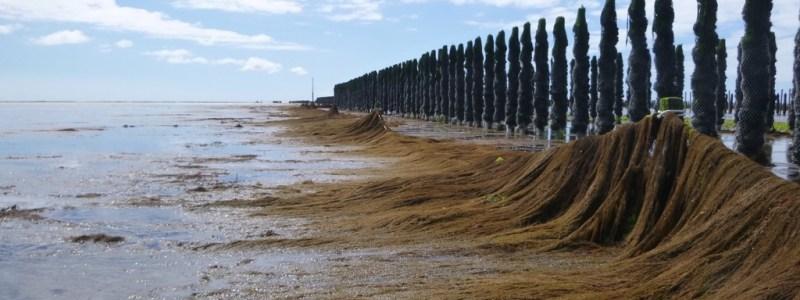 Barrage expérimental de lutte contre les sargasses à Bricqueville sur Mer (Manche) (@SMEL)