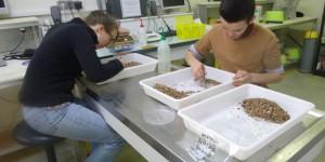 Des techniques innovantes pour étudier le régime alimentaire du buccin.