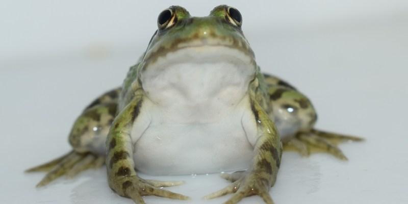 Une grenouille normande (@SMEL)