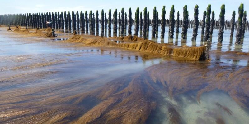 Un barrage à sargasses protégeant la zone d'élevage des moules (@SMEL)