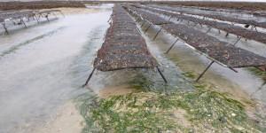 Cartographie et interactions des zostères en secteur conchylicole en ouest Cotentin