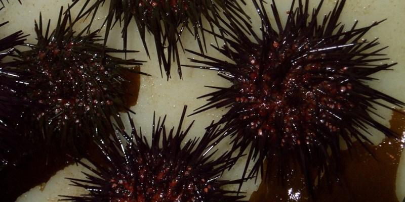 Oursins issus de l'élevage (@SMEL)