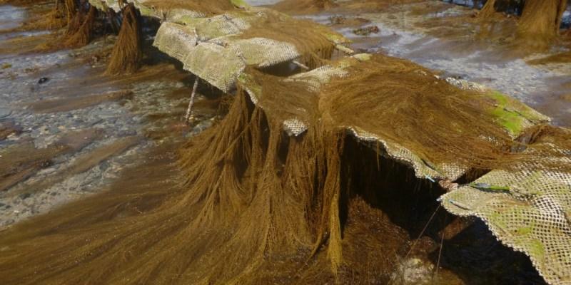 Photo 1. Sargasses échouées sur des tables à huîtres de Bricqueville-sur-Mer (Manche).