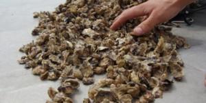 Bilan des mortalités des huîtres en Normandie entre 2014 et 2018.