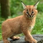Caracal kittenIMG_5664