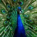 Peacock 8Y3A0994