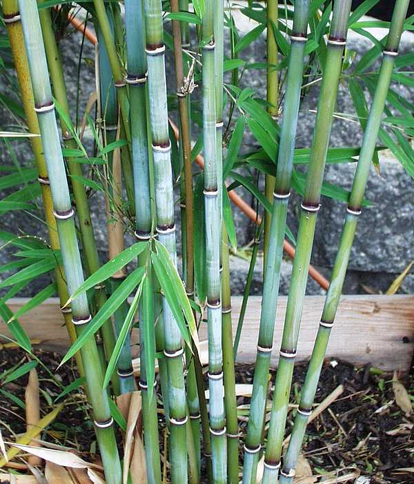 san marcos growers > blue bamboo