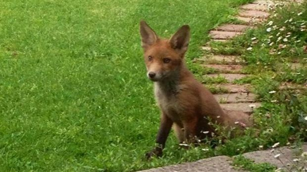Two parents and two baby foxes have moved into a suburban backyard.