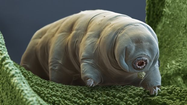 Colourr enhanced scanning electron micrograph of a tardigrade.