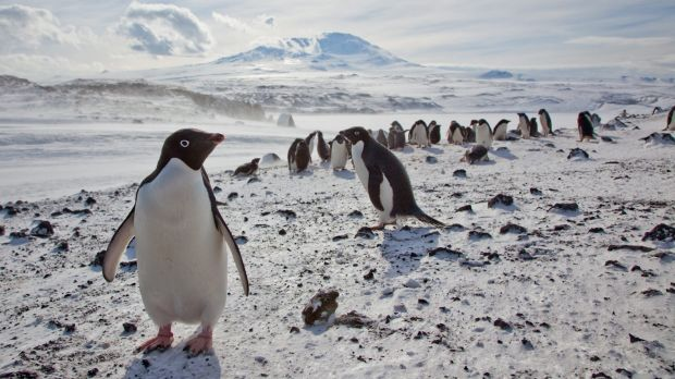 Adélie penguins. An iceberg grounding in Commonwealth Bay threatens a colony's survival.