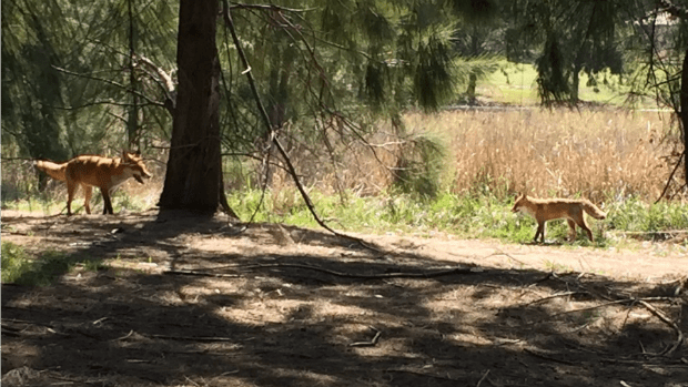 Rowville resident Anne snapped these foxes at the golf course.
