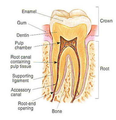 SMILE LINE   Root Canal Treatment ( RCT ) - SMILE LINE