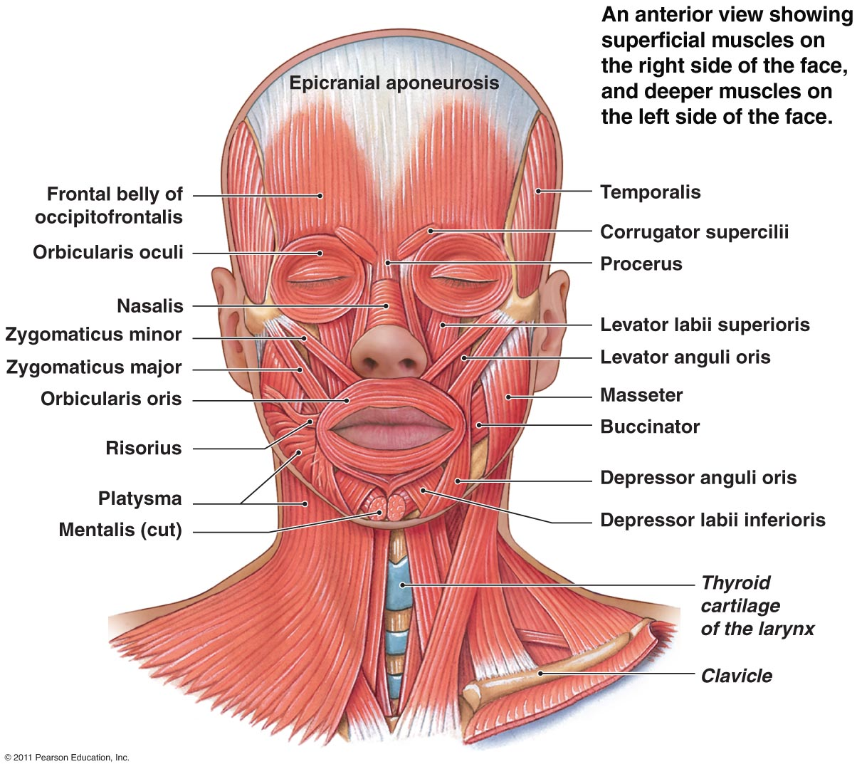 Smile Line Muscles Of The Facial Expression