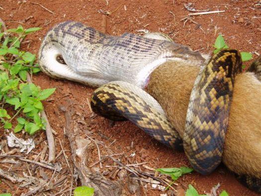 Python Swalloing a kangaroo