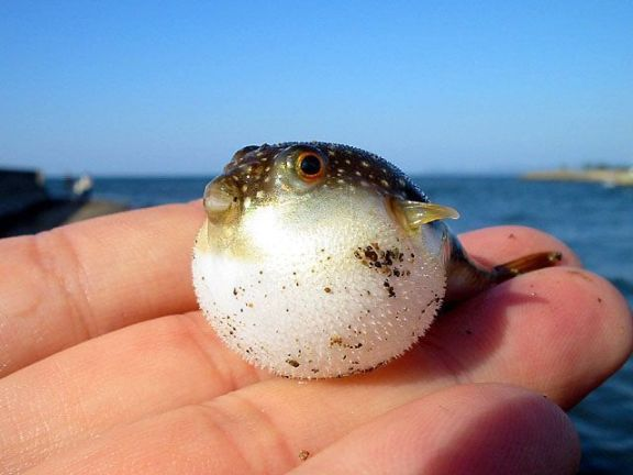 Tiny puffer fish