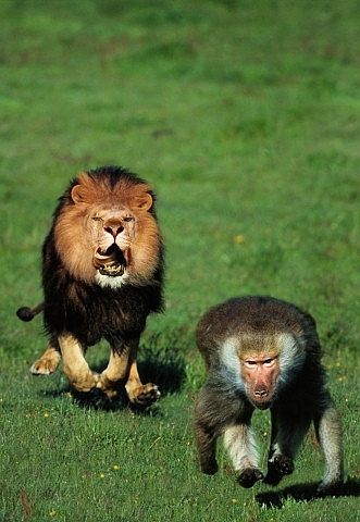 Lion chasing baboon