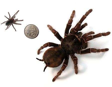 Giant Spiders Invade Outback Town