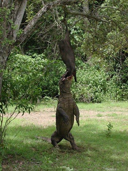 The Komodo Dragon - Image 4