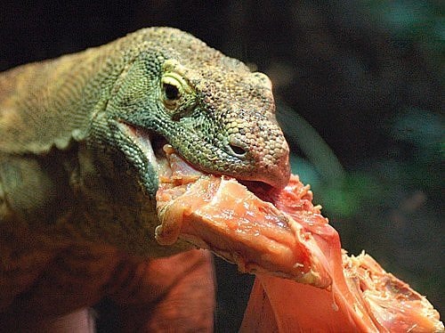 The Komodo Dragon - Image 6