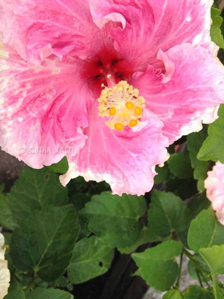 hibiscus Arboretum Flower Photos