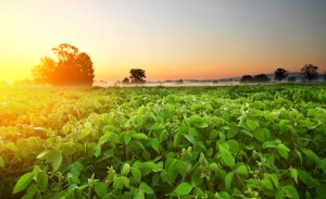 Soybean field as the sun rises with dew in the distance