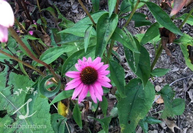 Echinacea flower, stems, and leaves
