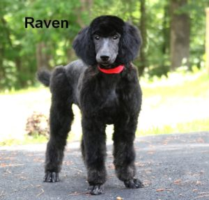 Phantom Standard Poodle Puppies For Sale Smith Standard