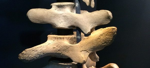 whale vertebrae assembled into backbone