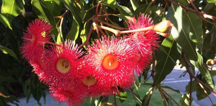 Pink gum tree flowers in Perth