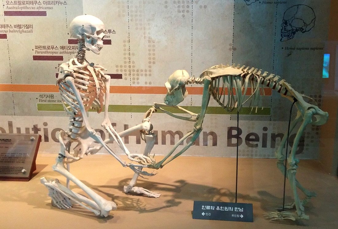 Human and monkey skeleton Seodaemun Museum Seoul Korea