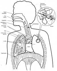 human heart and lungs diagram uverse nid wiring habits of the lessons lung model thumbnail