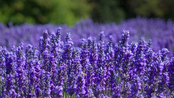 Jardin du Soleil lavender fields