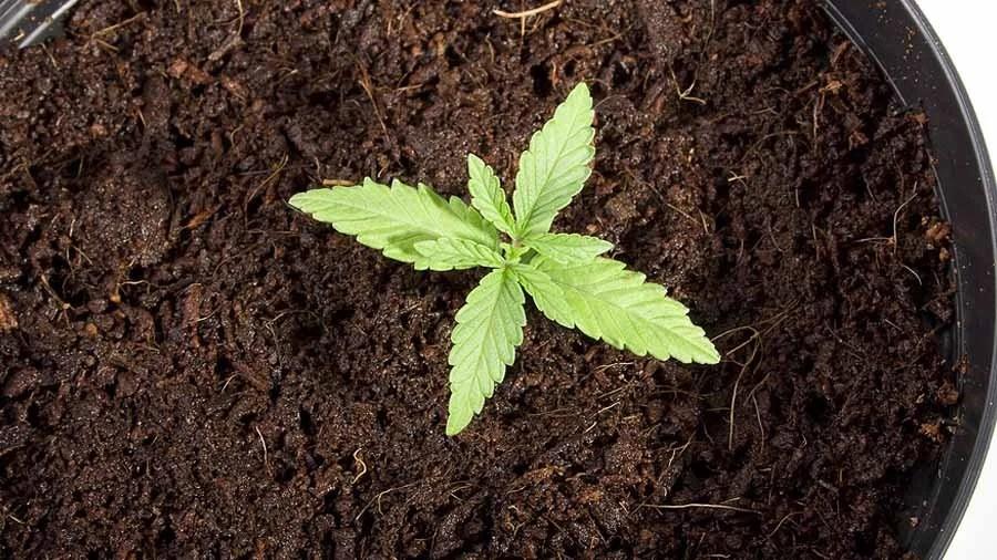 chile abre debate sobre cultivo maconha uso medicinal recreativo smoke buddies Paciente tetraplégico de Fortaleza obtém autorização para cultivar maconha medicinal