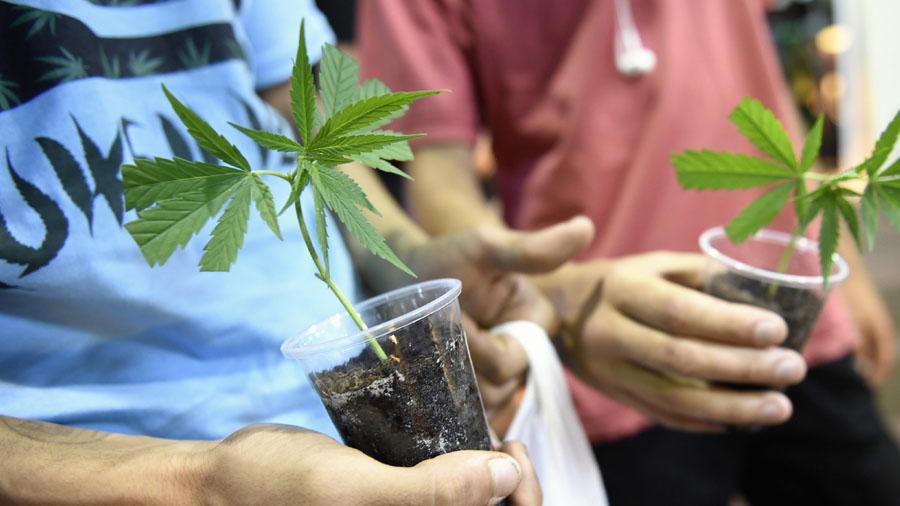 uruguai cultivara toneladas maconha smoke buddies Brasileiros movimentam o mercado canábico no Uruguai