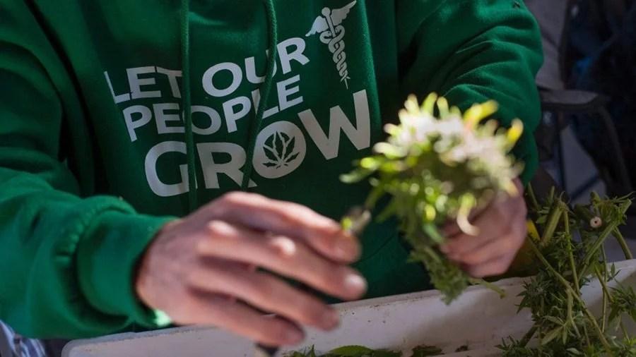 cultivo maconha medicinal canada Medicinal: Canadenses agora podem cultivar maconha em casa