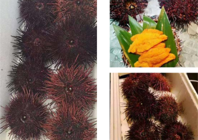 Wild Red Sea Urchin