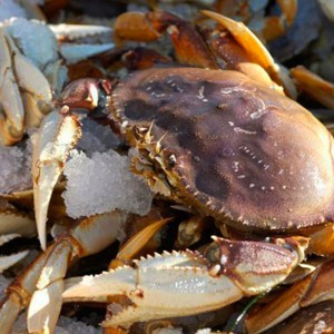 LIVE WILD DUNGENESS CRAB