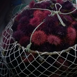 LIVE WILD RED SEA URCHIN