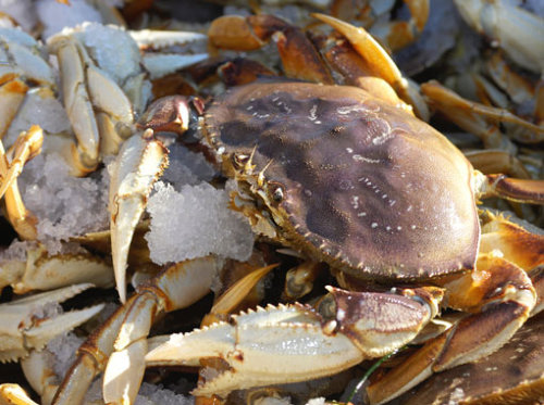LIVE DUNGENESS CRAB WHOLESALE