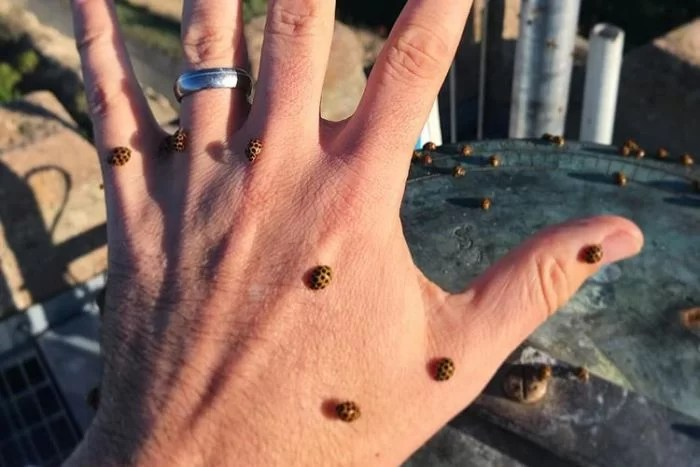 A person's hand outstretched with nine ladybirds on it.