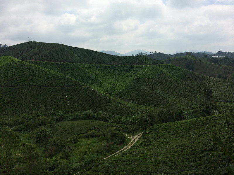 Boh Tea Planation Cameron Highlands