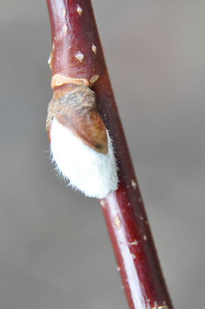 A close-up of a pussy willow catkin.