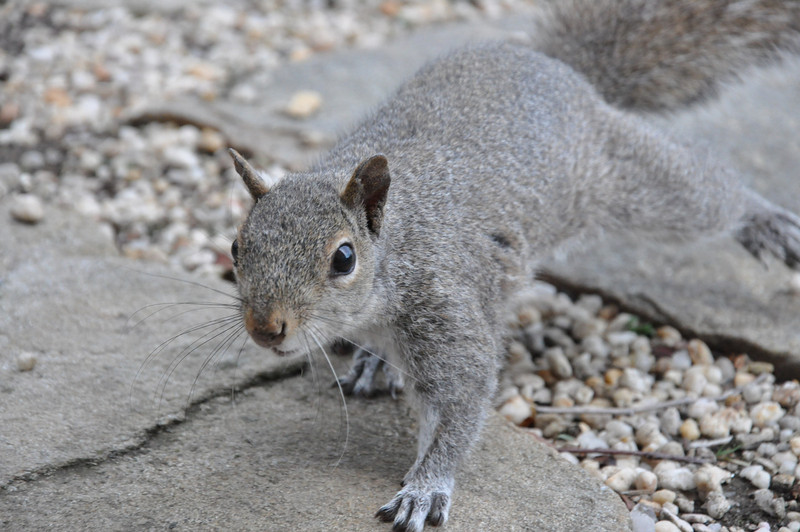 A north american gray squirrel approaches.