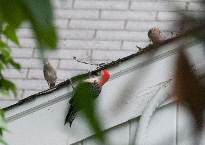 A Red-bellied Woodpecker hanging on the edge of a roof with two house sparrows sitting on the roof above.