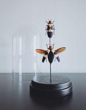 Chrysochroa Buqueti Rugicollis in glazen stolpje