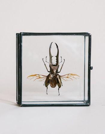 Cyclommatus metallifer Finae in glazen doosje