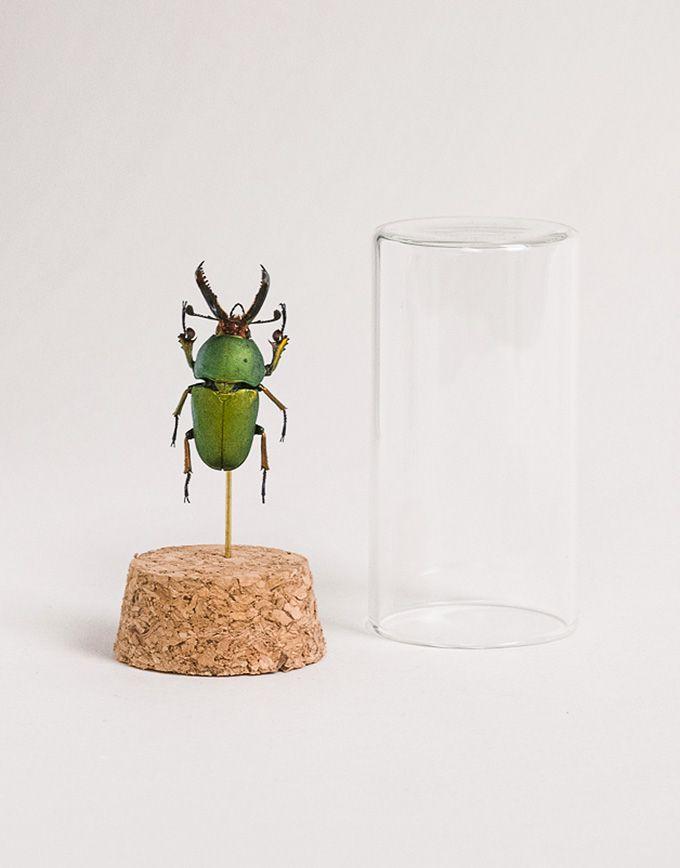 Lamprima Adolphinae in glazen buisje