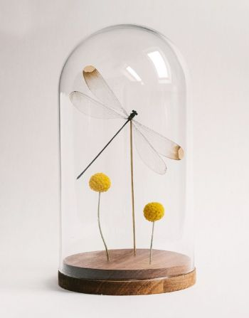 Microstigma Rotundatum in glazen stolp