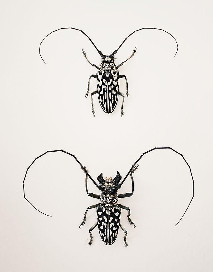 Stellognatha Maculata in kader